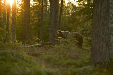 European Brown Bear (Ursus arctos) in Boreal forest, Taiga, Finland