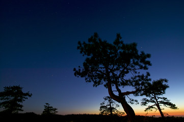 Pines at dusk with stars in the sky, Yosemite, California, USA