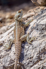 Sling-tailed Agama climbing on a rock