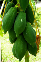 Closeup growing green raw papaya fruits on homegrown tree on sunshine day