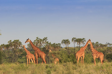Giraffes in African savannah
