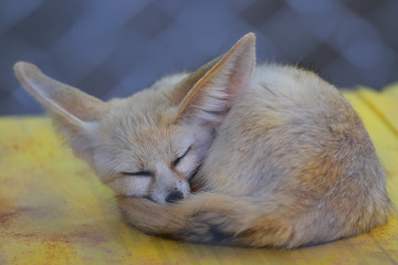 Fox's child Sleeping In the daytime