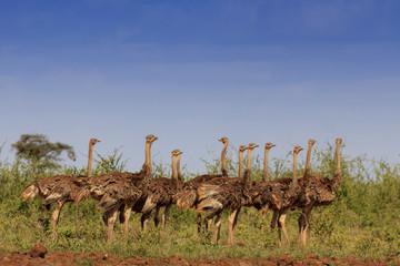 Ostriches. Flock of ostrich birds