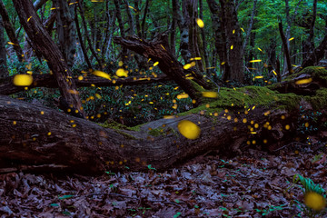 Beautiful Magical Fireflies in the summer at the enchanted fairy forest