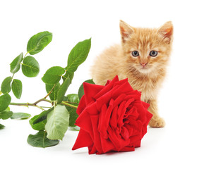 Brown kitten and a red rose.