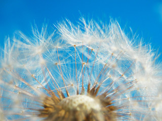 color macro photography of overbloom white dandelion and blue sky