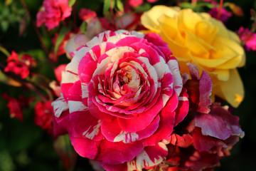 Bright flowers. Rose.