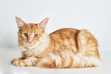 Redhead striped cat maine coon looks