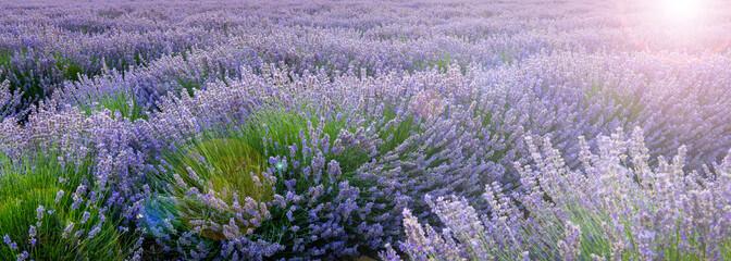 Spoed Fotobehang Lavendel Mer de lavande, Provence en France