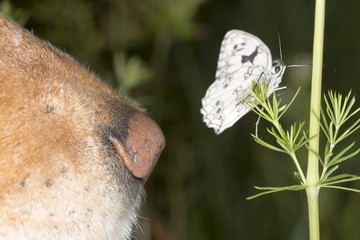 The dog sniffs the butterfly