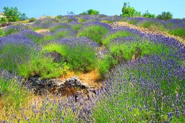 Island Hvar in Croatia, lavender field
