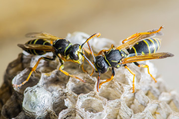 Two Wasps on Nest