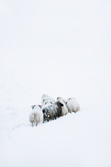 Adorably furry little sheep roaming free in Iceland; minimalistic view of sheep lost in the snowy blizzard, trying to find their way back, wandering around