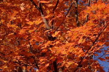 Brilliant orange autumn maple leaves