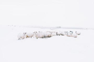 Uroczy, owłosiony, mały owca wędrujący w Islandii; minimalistyczny widok owiec zagubionych w śnieżnej zamieci, próbujących znaleźć drogę powrotną, wędrując po okolicy - 162243394