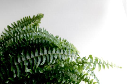 Close up leafy boston fern