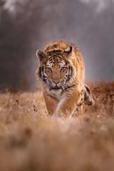 tiger, siberian tiger(Panthera tigris altaica)