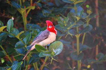 hawaiianischer Vogel