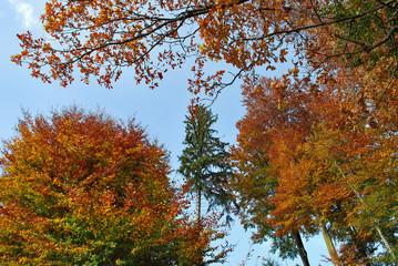 Herbst-Baumkronnen