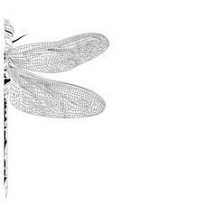 Elegant, partial dragonfly insect detailed sketch in black and white