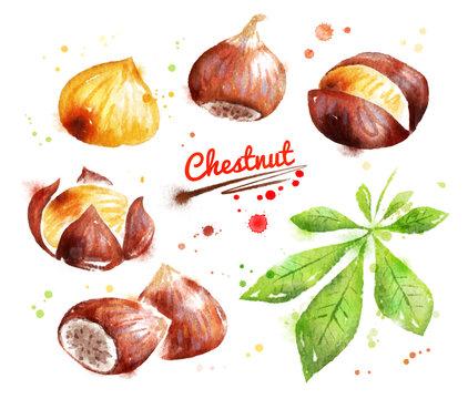 Watercolor illustration of chestnut