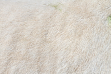 Macro closeup of a white horse's fur