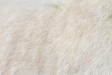 Macro closeup of a white horse's fur