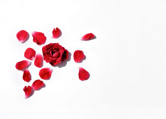 Red roses with petals on white background, top view