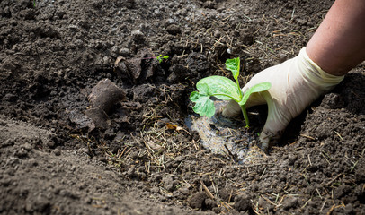 Planting squash in the garden