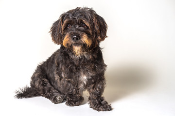 Shih Tzu Scottish Terrier mix breed dog canine with angular limb deformity sitting down isolated on white background