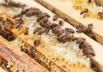 Пчелы сидят на восковых сотах в улье и едят мед
