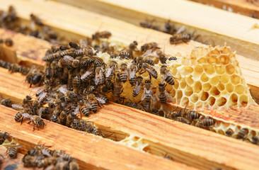 Много пчел ползают по рамкам с медом в улье