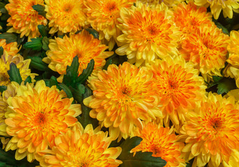 Beautiful yellow Chrysanthemum flower in the garden.