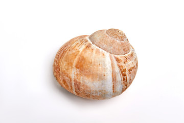 Sea snail isolated on white. Close up of beautiful sea shell of gastropod.