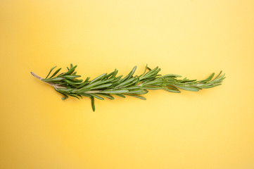 Branch of fresh rosemary on a bright yellow background..