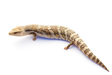 Australian Blue Tongue Lizard on white background