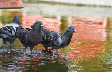 Pigeons ( dove ) standing on a rock near the water, isolated.