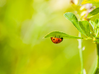 Cocinella septempunctata - One lady bug on a leaf on springtime