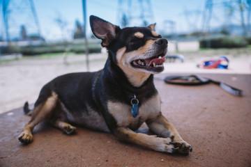 Chihuahua at the dog park