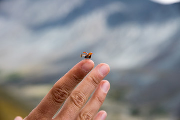 A small insect ladybug spread its wings for a flight on a person's finger in nature