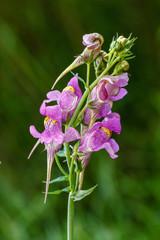 Linaria triornithophora. Flores de Pajarillos.