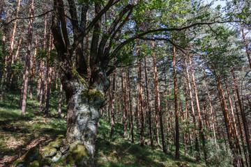 Roble albar en bosque de Pinos albares. Quercus petraea. Pinus sylvestris.