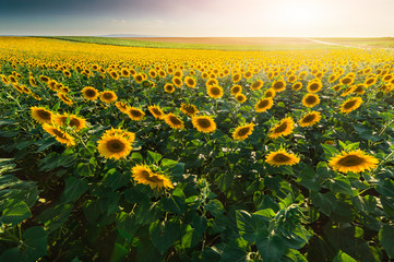 Field of sunflowers in warm sunny day
