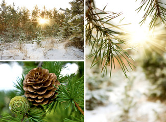 fir cones in winter forest