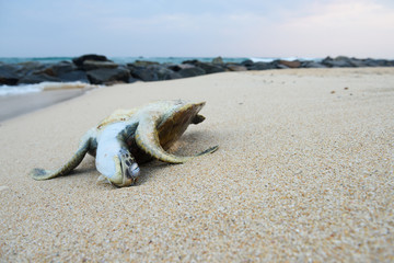 Dead ocean turtle on the beach