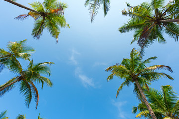 Coconut palm trees leafs with blue sky as copy space