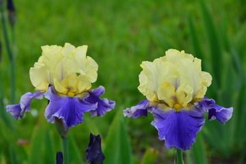Two blooming iris flowers in the garden