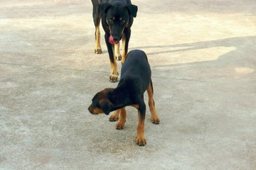 The big black dog is licking his mouth and biting the black little dog,Selective focus,Proverbs and sayings,(a dog eat dog business,cut-throat business,dog in the manger)