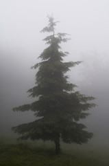 tree in a forest in fog