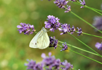 Printed roller blinds Lavender papillon sur fleur de lavande